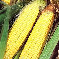Семена кукурузы Попкорн Белый, 100г