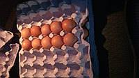 Яйцо инкубационное Адлер, Геркулес, Барвыста, Род Айленд
