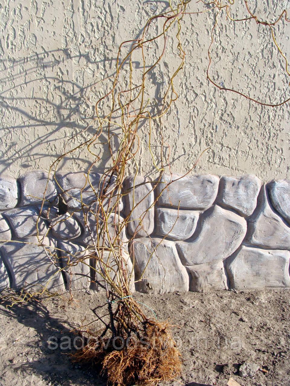 Киви Матуа -Томури ( опылитель)