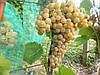 Саженцы  технического  винограда Сейваль  блан