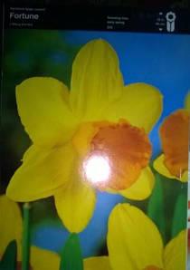 Нарцис великоквітковий Fortune