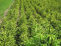Ель обыкновеенная (европейская) для создания жывой изгороди