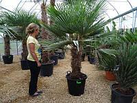 Пальма веерная Трахикарпус Форчуна, выс. 190-220 см, ствол 70-80 см.
