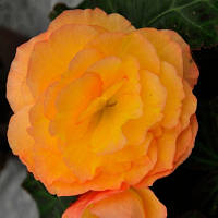 Fortune Peach Shades