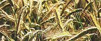 Озиме жито Полікросне ЕЛІТА
