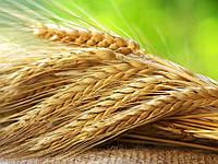 Озиме жито Хамарка, 1 репродукция