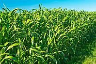 Суданка семена Голубовская