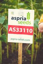 День поля на демонстрационном участке гибридов подсолнечника Aspria Seeds