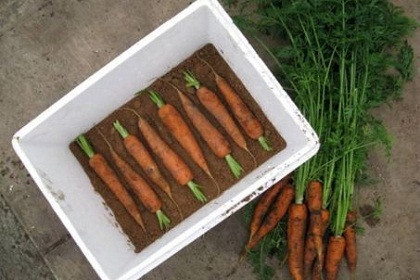 Carrots-stored-in-boxes-of-sand_661251.jpg