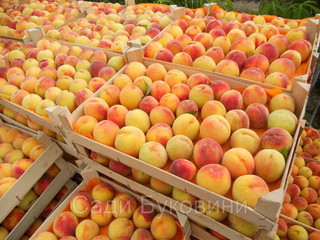 Подвой для абрикоса и персика (алыча)