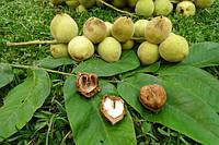 Саджанец черного (манжурского) ореха, фото 1
