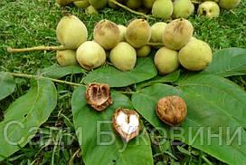Саджанец черного (манжурского) ореха