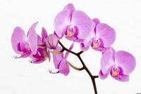 Ароматизатор для свечей Орхидея 5 мл