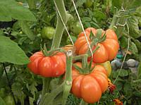Томат Флорентино семена высокоурожайного сорта в закрытом грунте