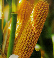 Совместное выращивание Кукурузы с ПБФ Колос