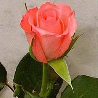 Роза Ноблес