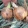 Семена лука Тамара F1 \ Tamara F1 10000 семян Bejo zaden