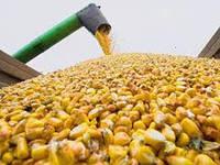 В Украине начинается «кукурузный» кошмар
