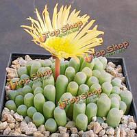 10шт fenestraria aurantiaca сочных семян растений сада Aizoaceae многолетних трав