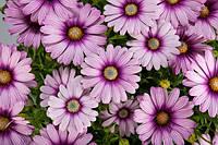 Osteospermum Cape Daisy Eyecatcher Purple