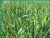 Рожь  жито