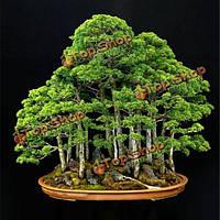 20шт сад вечнозеленый можжевельник иглы куста отбирает juniperus rigida заводы