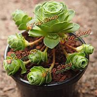 10шт greenovia сочных семена растений сада Crassulaceae многолетние травы