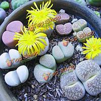 50шт смеси Lithops lesliei сочных семена растений сада Aizoaceae многолетних трав