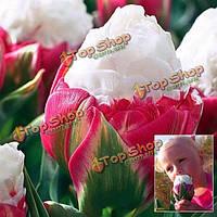 1шт двойной лепесток розовый белый тюльпан мороженое лампа сад во дворе тюльпан геснера семян