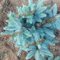 30шт Колорадо голубая ель рісеа pungens ель семян растений