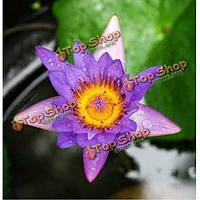 10шт фиолетовый кишечника семена лотоса
