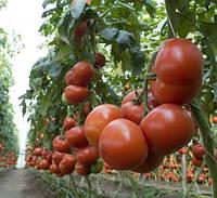 Томат Махитос F1 семена раннеспелого крупноплодного высокорослого гибрида томата с дружней отдачей урожая