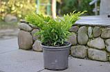 Ялівець горизонтальний Лайм Глоу P9 (Juniperus horizontalis Lime Glow ), фото 4