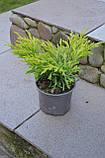 Ялівець горизонтальний Лайм Глоу P9 (Juniperus horizontalis Lime Glow ), фото 5