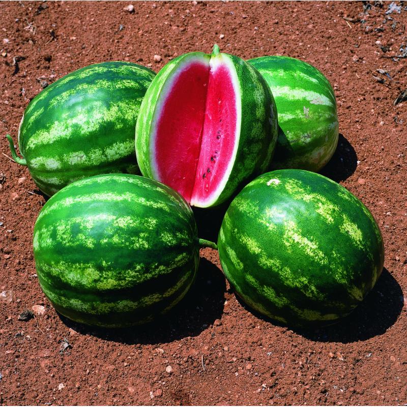 Сорт арбуза Стетсон F1 ультра-ранний гибрид с округлыми плодами, хрустящей мякотью высоким содержанием сахара