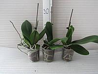 Орхидея фаленопсис  (отцвевшая)