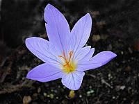 Крокус осеннецветущий Speciosus Cassiope 5 шт