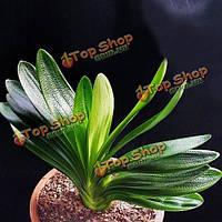 5шт Kaffir лилии оригинальные семена декоративных растений Clivia