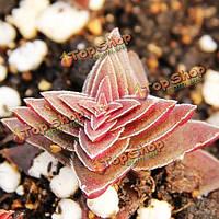 40шт толстянка corymbulosa семена суккулентных растений горшечная