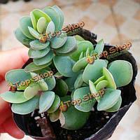 10шт каланхоэ круглолистная сочных семян растения сада Crassulaceae многолетние травы