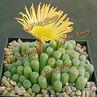 100шт fenestraria aurantiaca сад семена суккулентных растений горшечная