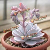 10шт Echeveria laui сочных семена растений сада Crassulaceae многолетние травы