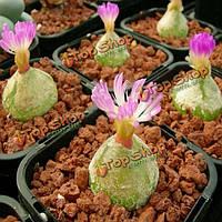 40шт conophytum burgeri семена суккулентных растений горшечная