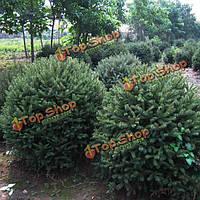 50шт дракона ели семена деревьев сад во внутреннем дворике вечнозеленых беседка однолетнее растение