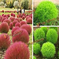 100шт кохия сада scoparia отбирает однолетнее травяное декоративно-лиственное растение