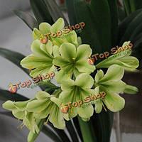 5шт зеленый кливия семян крытый бонсай семян