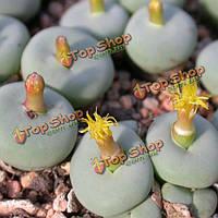 10шт Conophytum Исчисление сочных семян растения сада Aizoaceae многолетних трав