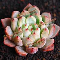 10шт Echeveria mexensis zalagosa суккулентов семена сада Crassulaceae многолетние травы