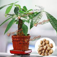 1шт Pachira семена крупноплодный сад офис денежное дерево бонсай растение в горшке
