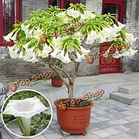25шт семена мандала цветник двор дурман обыкновенный бонсай растение в горшке